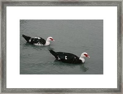 Ducks Cruise Framed Print by David Wahome