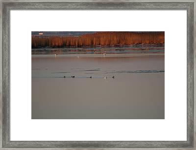 Ducks Framed Print by Marc Van Pelt