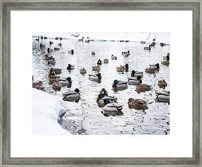Ducks Swimming By Snowy Shore Framed Print