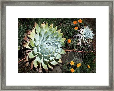 Framed Print featuring the photograph Dudleya And California Puppy by Catherine Lau