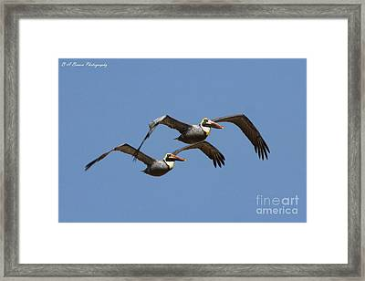 Duel Pelicans In Flight Framed Print