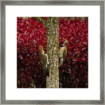 Dueling Woodpeckers Framed Print by LeeAnn McLaneGoetz McLaneGoetzStudioLLCcom