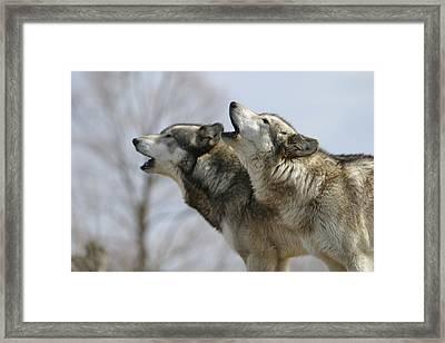 Duet Howl Framed Print