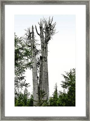 Duncan Memorial Big Cedar Tree - Olympic National Park Wa Framed Print
