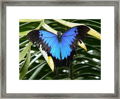 Dunk Butterfly In Oz Framed Print by D Scott Fern