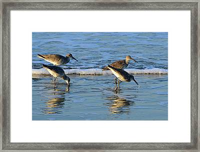 Dunking Willets Framed Print by Bruce Gourley