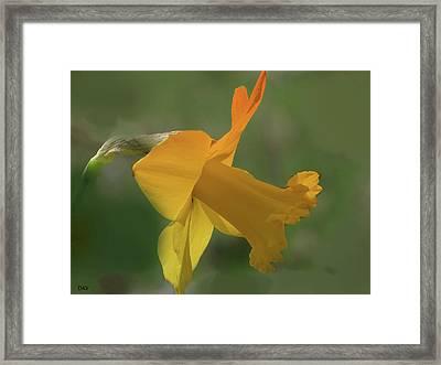Duration Daffodil  Framed Print by Debra     Vatalaro