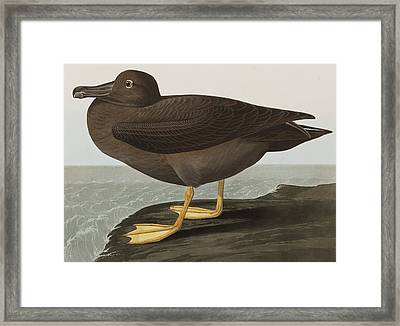 Dusky Albatros Framed Print by John James Audubon