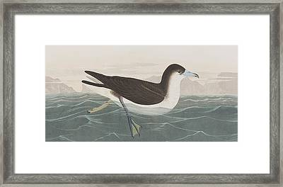 Dusky Petrel Framed Print by John James Audubon
