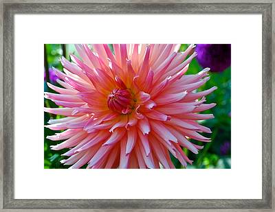 Dusty Rose Dahlia  Framed Print