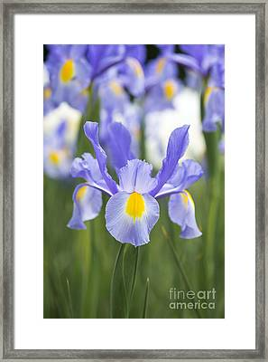 Dutch Iris Nova Blue Framed Print