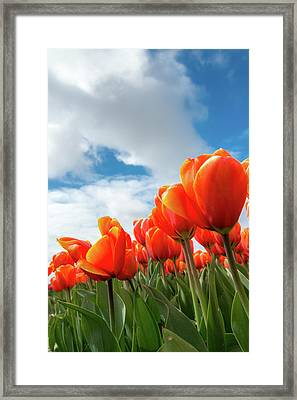 Dutch Tulips Near Keukenhof Framed Print