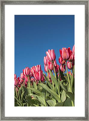 Dutch Tulips Second Shoot Of 2015 Part 8 Framed Print by Alex Hiemstra