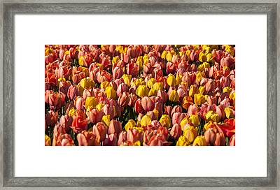 Dutch Tulips Second Shoot Of 2015 Part 9 Framed Print by Alex Hiemstra