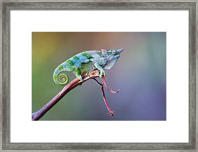 Dwarf Chameleon Bradypodion On A Twig Framed Print by Panoramic Images