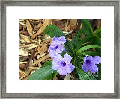 Framed Print featuring the photograph Dwarf Mexican Petunias by Terri Mills