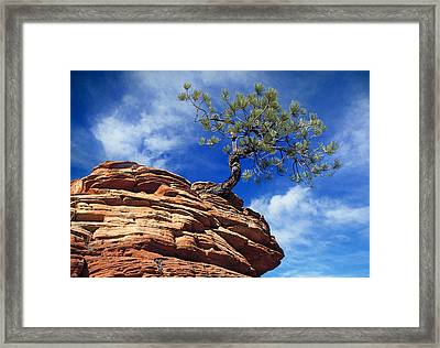 Dwarf Pine And Sandstone Zion Utah Framed Print by Utah Images