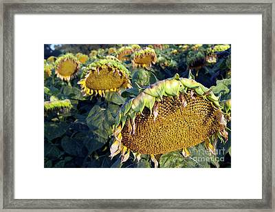 Dying Sunflowers In Field Framed Print by Sami Sarkis