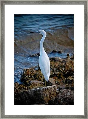 Eager Egret Framed Print by DigiArt Diaries by Vicky B Fuller