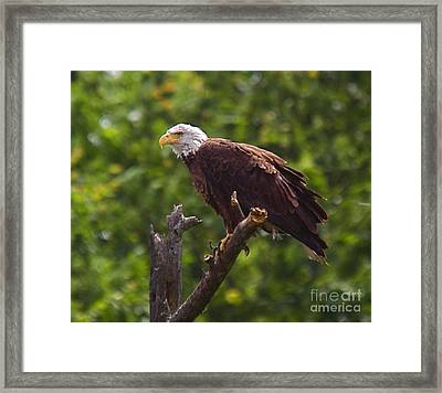 Eagle-2 Framed Print by Robert Pearson