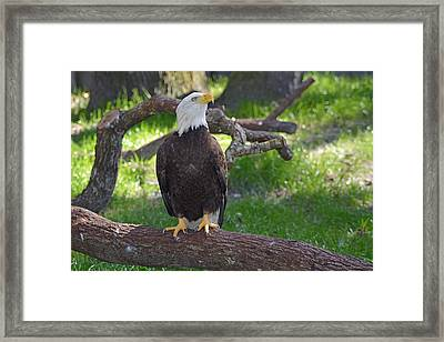 Eagle 4 Framed Print by Aimee L Maher Photography and Art Visit ALMGallerydotcom