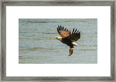 Eagle Departing With Prize Close-up Framed Print