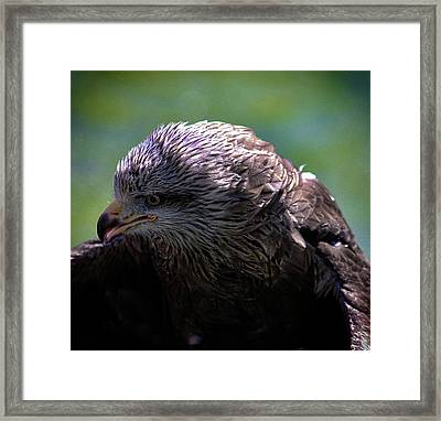 Eagle Eyes Framed Print by Martin Newman