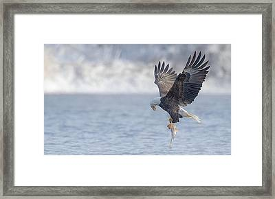 Eagle Fishing  Framed Print