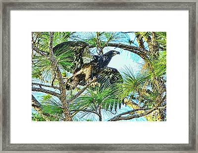 Eagle Fledgling 2017 Framed Print by Deborah Benoit