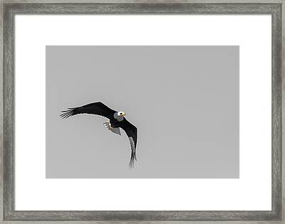 Bald Eagle Flight Framed Print