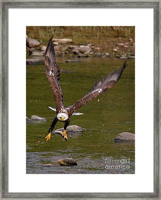 Framed Print featuring the photograph Eagle Fying With Fish by Debbie Stahre