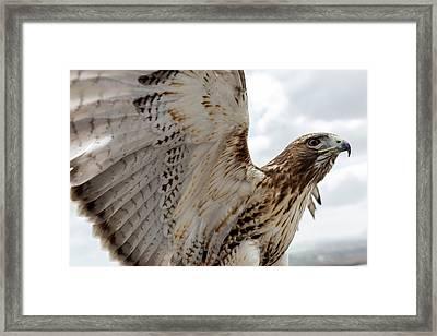Eagle Going Hunting Framed Print