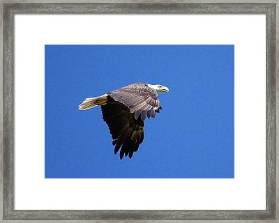 Eagle In Flight Framed Print by Don Youngclaus