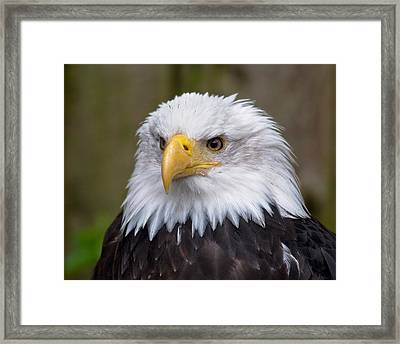 Eagle In Ketchikan Alaska Framed Print
