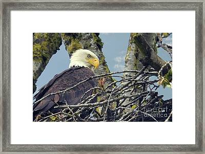 Framed Print featuring the photograph Eagle In Nest by Rod Wiens