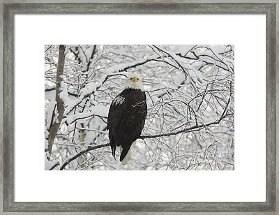 Eagle In Snow Framed Print by Tim Grams