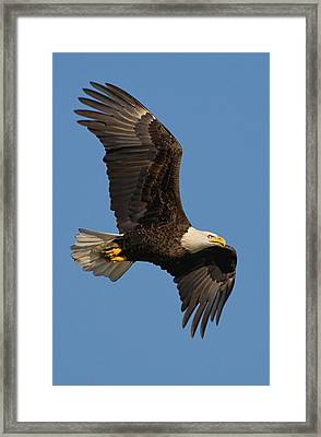 Eagle In Sunlight Framed Print