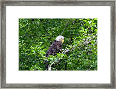 Eagle In The Tree Framed Print