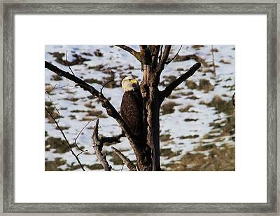 Eagle In The V Of A Tree Framed Print by Jeff Swan