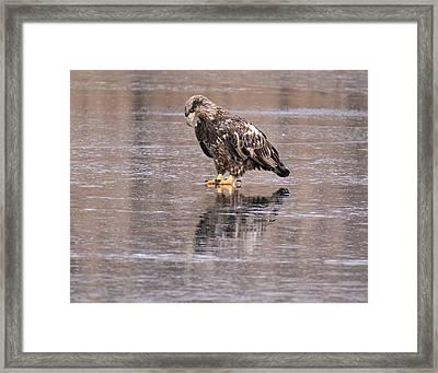 Eagle Framed Print by John Adams