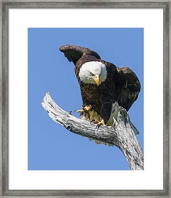 Eagle Landing Framed Print by Denise McKay