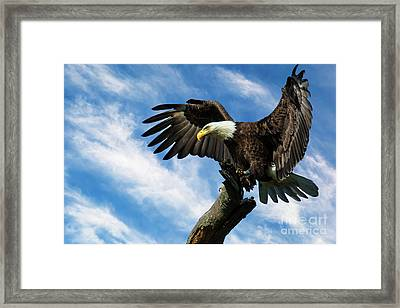 Eagle Landing On A Branch Framed Print