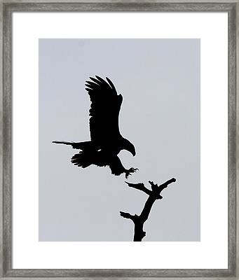 Framed Print featuring the photograph Eagle Landing by Phil Stone
