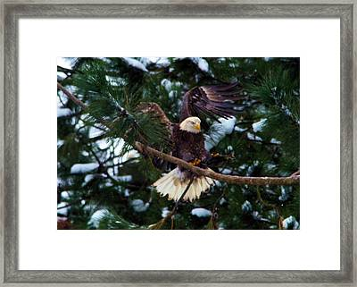 Eagle Landing With A Fish  Framed Print by Jeff Swan