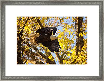 Framed Print featuring the photograph Eagle Launch by Angel Cher