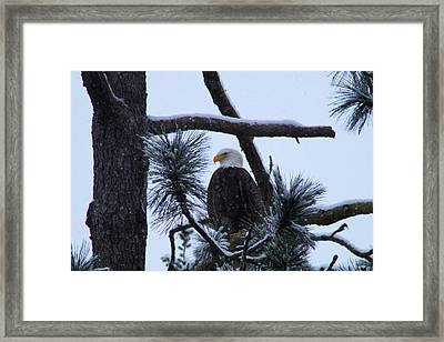 Eagle On A Frosted Limb Framed Print