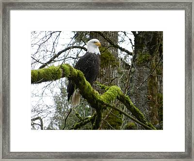 Eagle On A Mossy Limb Framed Print by Karen Molenaar Terrell