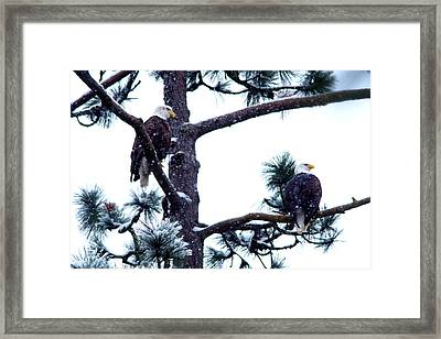 Eagle Pair In A Tree Framed Print by Jeff Swan