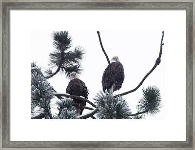 Eagle Pair In Snowfall Framed Print by Jeff Swan