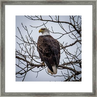 Framed Print featuring the photograph Eagle Perched by Paul Freidlund